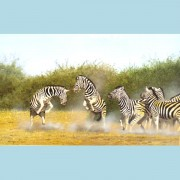 ZEBRAS - FIGHTING